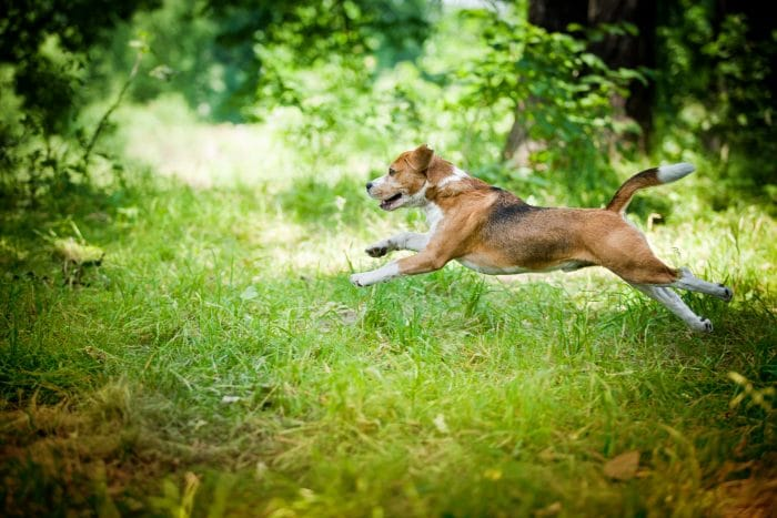 Beagle jumping through the woods