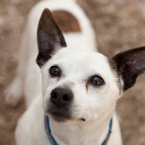 Jack Russel with stained eyes