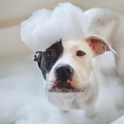 Dog with shampoo on his head