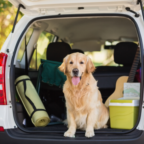 Golden Retriever sitting in the boot of a car