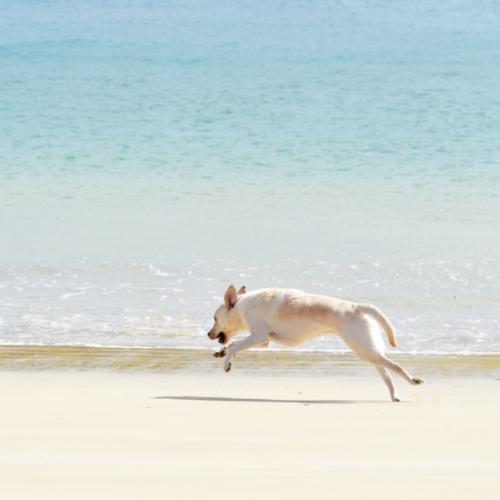 Dog running across a beach in Cornwall