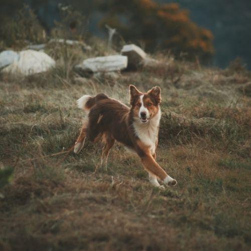 Collie running through a field