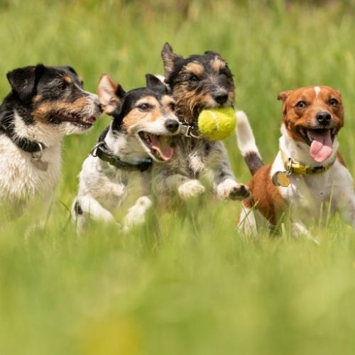 Jack Russells playing with a ball