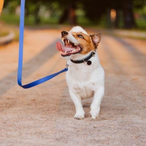 Jack Russell walking on a leash