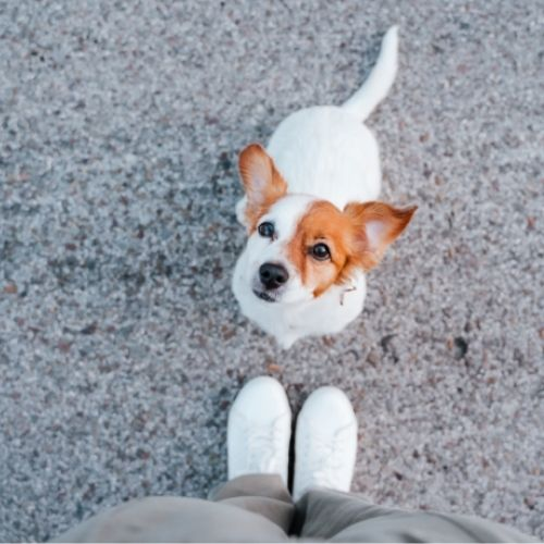 Jack Russell sits and looks at owner