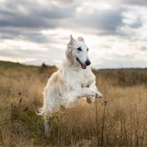Afgan hound running through fields