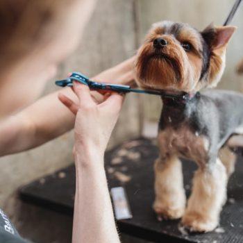 Yorkshire Terrier being groomed